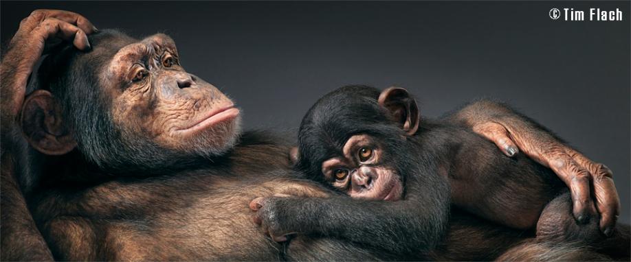 Tim_Chimpanse